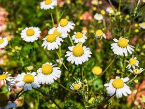 organiske blomster